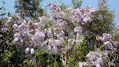 Wisteria blossoms growing on olive trees, taken in spring near Agios Spiridon beach (St, Spiridon), north-east Corfu, Greece.