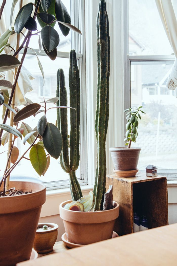cacti in Portland home