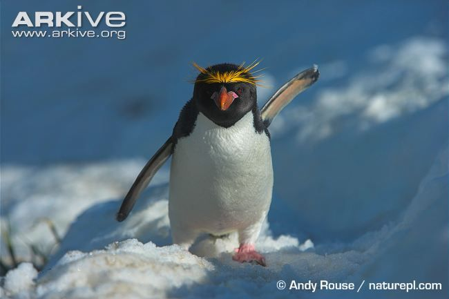 The macaroni penguin (Eudyptes chrysolophus) is a large, crested penguin, similar in appearance to other members of the genus Eudyptes, but larger than all other species except the royal penguin...