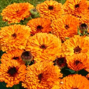Calendula officinalis Orange Button ™ The flower of October!