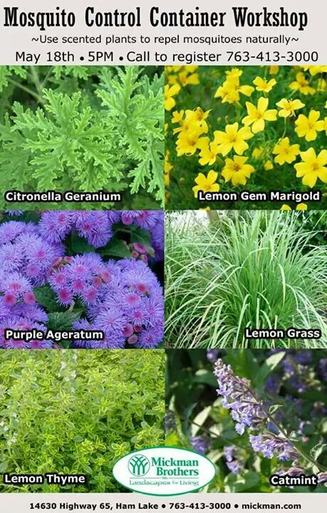 Mosquito repelling plants lemon grass basil lemon gem marigold purple ageratum lemon thyme - Mosquito repellent plants ...