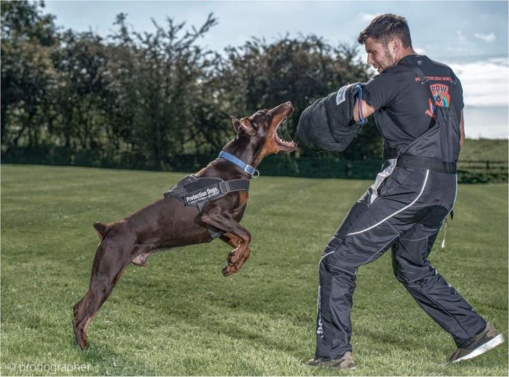 Luga #Doberman working perfectly as always 13months old brown boy #PDW   Www.protectiondogs.co.uk