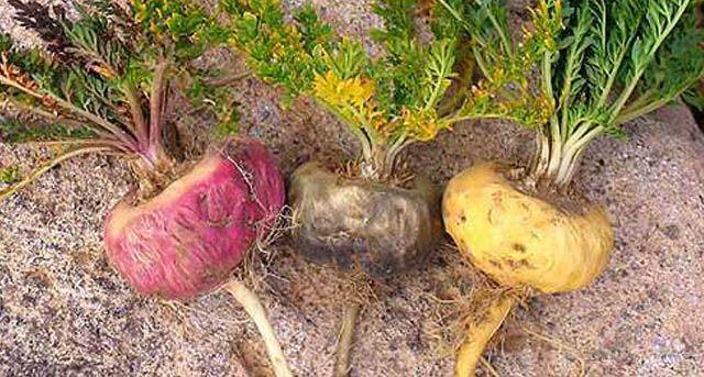 propiedades de la maca peruana amarilla