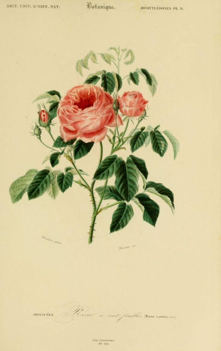 gravures couleur de fleurs gravure de fleur 0155 rose a cent feuilles rosa centifolia. Black Bedroom Furniture Sets. Home Design Ideas