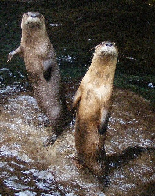Otters at Chattanooga Aquarium by vailst, via Flickr