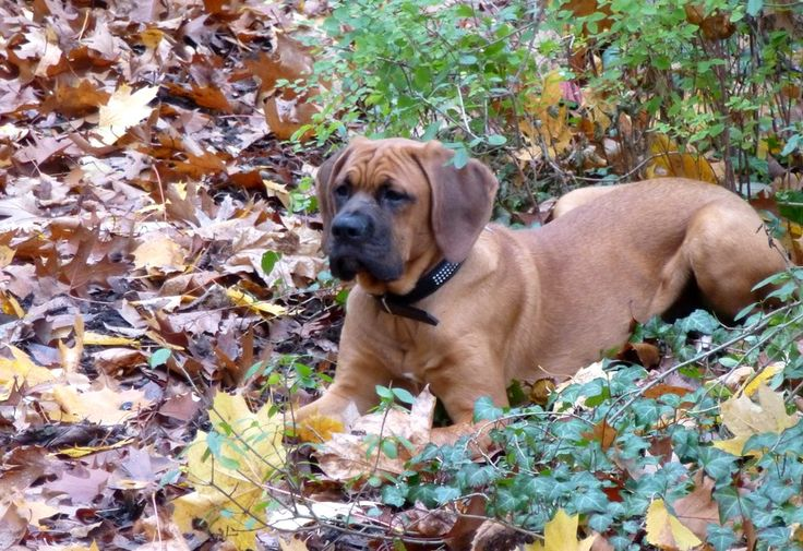 Dogge-Boxer Mix Cleo Tarnung im Herbst ist alles… Hundename: Cleo / Rasse: Dogge-Boxer Mix      Mehr Fotos: https://magazin.dogs-2-love.com/foto/dogge-boxer-mix-cleo/ Foto, Herbst, Hund