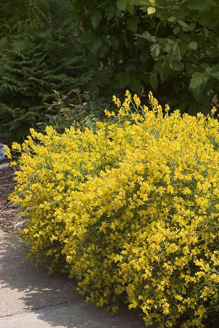 37 best images about drought tolerant plants on pinterest for Flowering landscape bushes