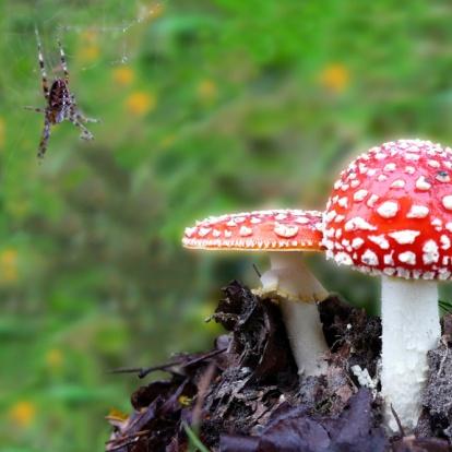 Spinnetje bij vliegenzwammen, spider with fly agarics.  http://www.kaartje2go.nl/kaartencollecties/creagaat---herfst?sk_id=161