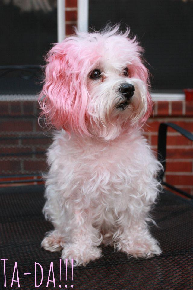 maltese. pink hair