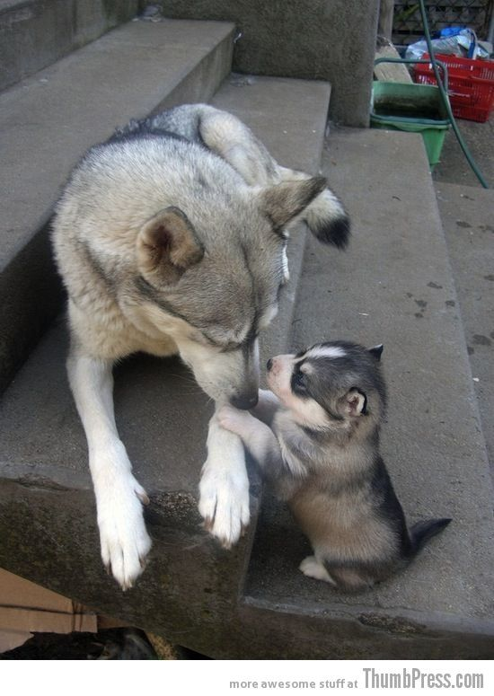 Baby and Mother Husky