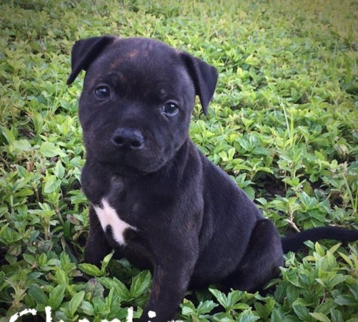Akc Staffordshire Bull Terrier Puppies Handmade Michigan Bull Terrier Puppies For Sal Staffordshire Bull Terrier Puppies Bull Terrier Puppy Bull Terrier Funny