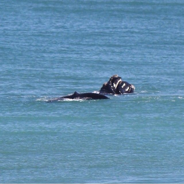 Mother and baby Southern Right Whale at Logan's Beach Warrnambool  #visitWarrnambool on Instagram