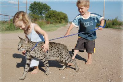 Savannah Cat  The Savannah cat is a hybrid of a domestic cat and an African wild cat known as the Serval.  Some people have questioned the validity of this breed as well as costly price of owning one.  However, they look pretty amazing don't they?