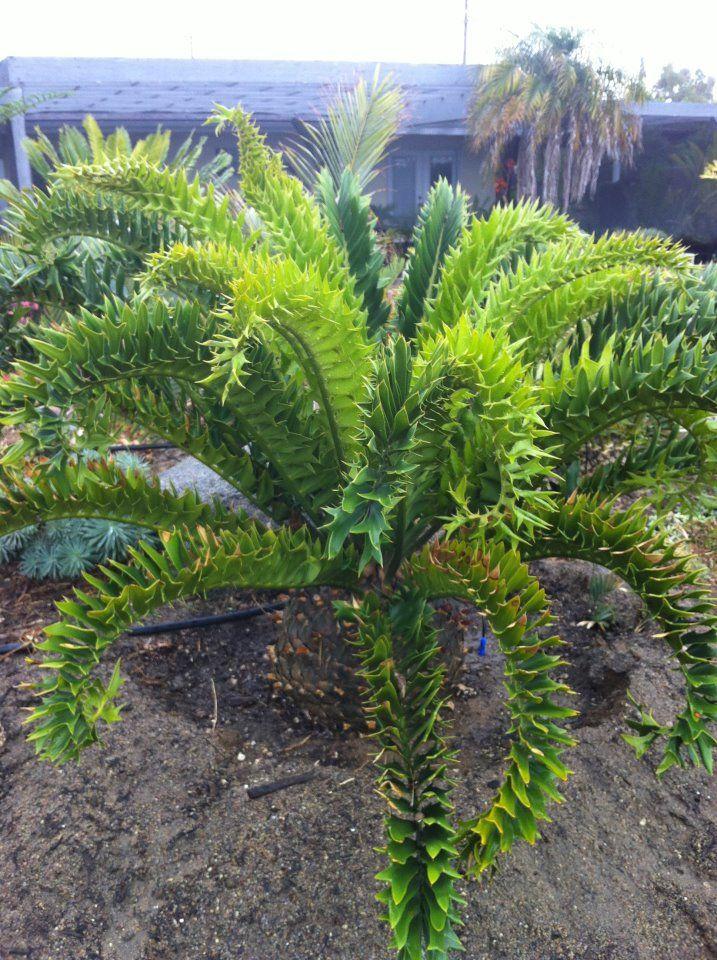 encephalartos latifrons cycad willowbrook nursery