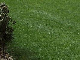 Grama-coreana – Zoysia tenuifolia | Jardineiro.net