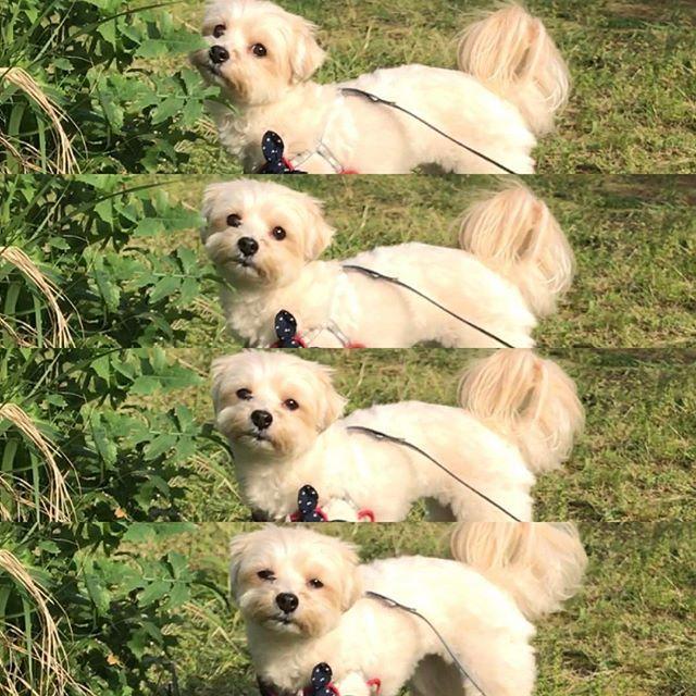 2017.4.27 憂いな表情w 朝陽が眩しかったね(³⁸*′艸‵) . . #yuzu #yorkie #yorkshireterrier #mix #maltese #morkie #dogstagram #dogofinstagram #dog_of_instagram #柚子 #ヨーキー #ヨークシャテリア #ミックス #マルチーズ #マルキー #わんこ #ミックス犬 #マルテリア #ヨークシャチーズ #愛犬