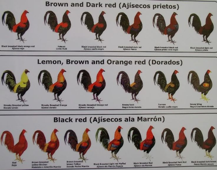 Names Of Different Colors Of Roosters Chickens Black Red