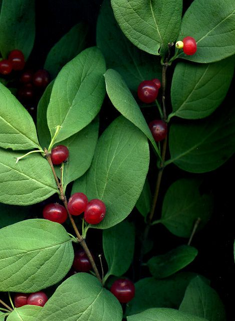 Lonicera tatarica | by horticultural art