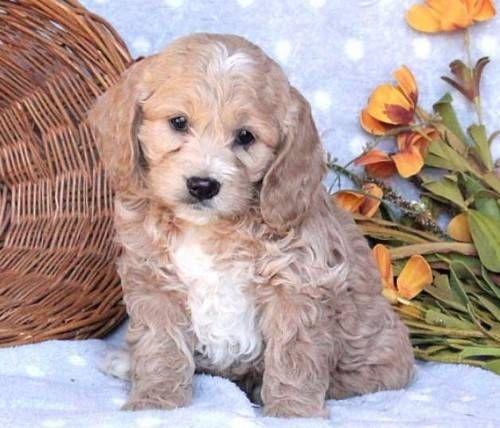 hilarious M/F Litter of cockapoo pups for sale Text for more infos 7.2.0 x 204 x 83 x 74 $300.00 USD