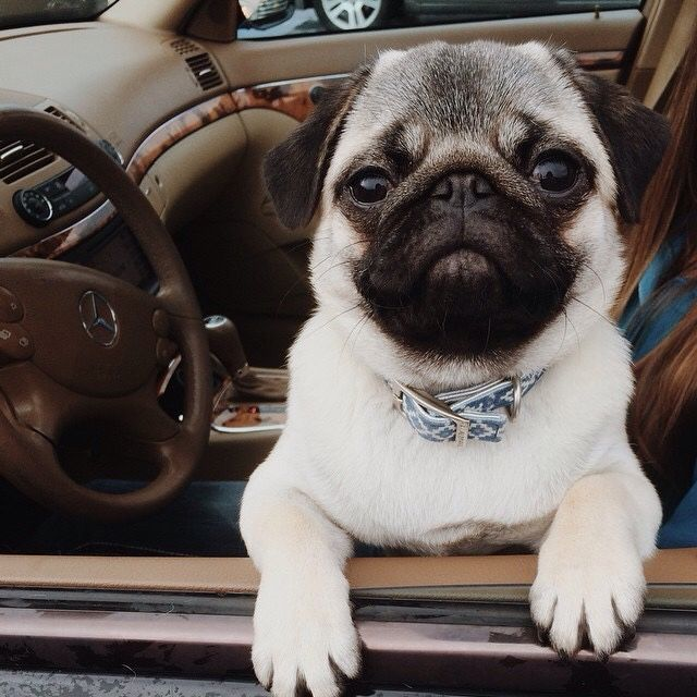 Pug in car window-uh, excuse me, a Mercedes with a Pug ;-)