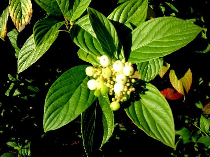 Cornus alba subsp stolonifera Flaviramea Keltaoksakanukka - Google-haku