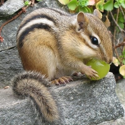 chipmunk. Lovely tail!