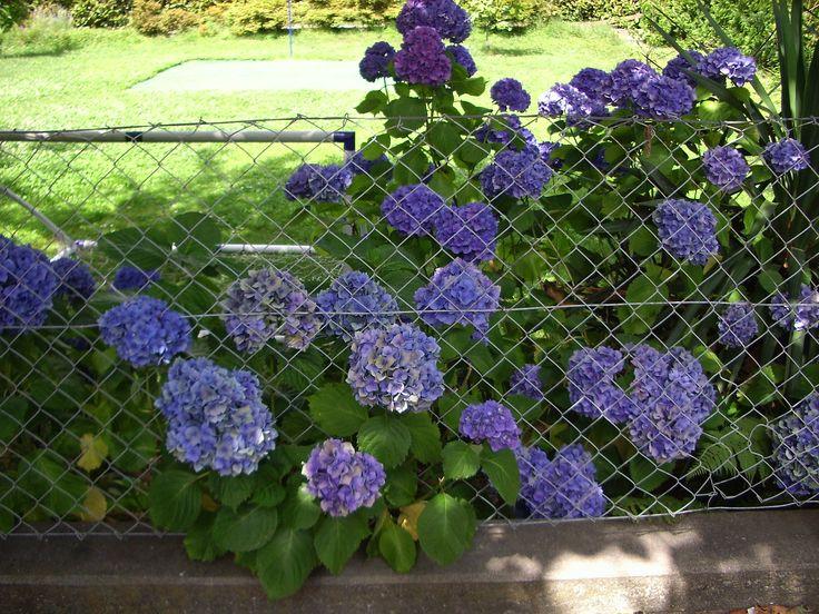 El jardin de las Hortensias.