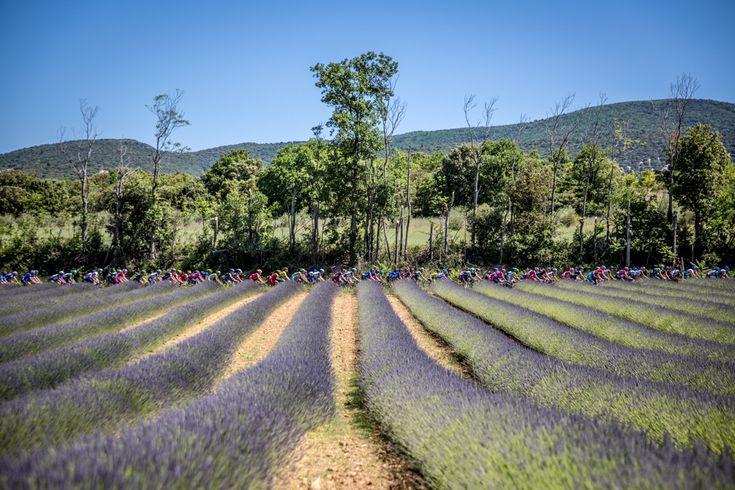 Photo Essay: Looking back at the 2014 Criterium du Dauphine - The Critérium du Dauphiné crossed the beautiful lavender fields of Haute-Provence on stage 4 heading into Gap. Photo: BrakeThrough Media | brakethroughmedia.com