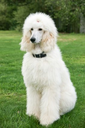 can't wait until a poodle like this will be sitting on my lawn after graduation. A poodle fit for a princess!