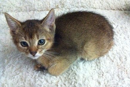 Abyssinian Kittens For Sale Westchester