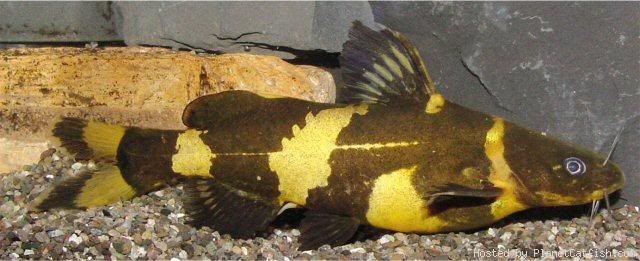 South American Bumblebee Catfish Profil Information Goodmorning Catfish For Sale Catfish Tank Catfish