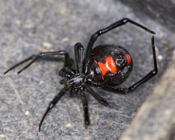 Mand bidt i penis af edderkop på offentligt toilet.  Den rødryggede edderkop er den mest giftige i hele Australien (Foto: Flickr)