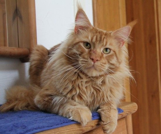 #MaineCoon #Red #Solid #Cats Justcoons Kaiser Maximilian