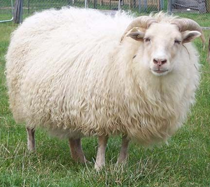 Icelandic sheep ready for fall shearing