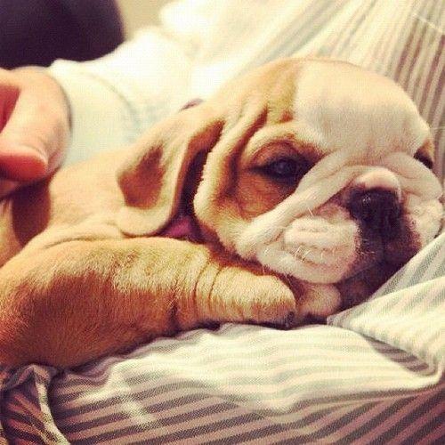 Wanna hug this cute little bulldog puppy?