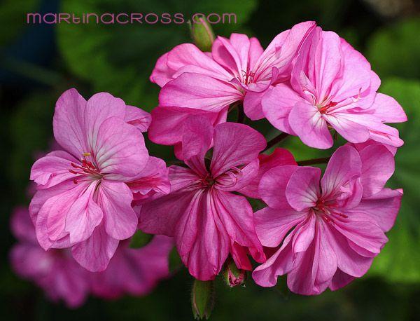 Pelargonie - Pelargonium - Pelargoner - Geranium Warrion