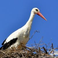 White Stork by Gerard Gorman