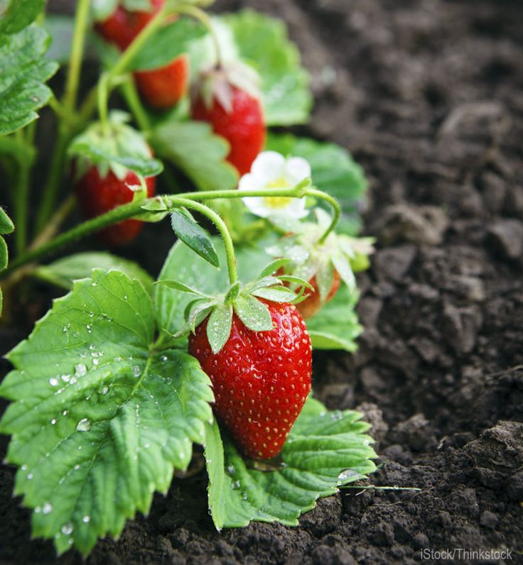 5 Ways to Prep Soil for Better Berries - Set the stage for tasty strawberries, blueberries and brambles with these soil-boosting garden tips.