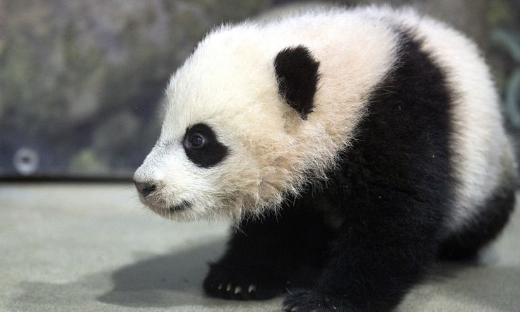 National Zoo's baby panda Bao Bao #DailyMail