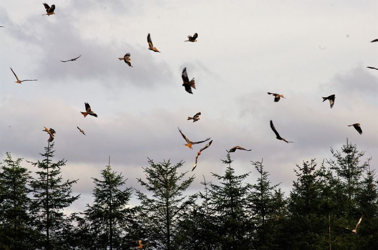 Red kites in Wales