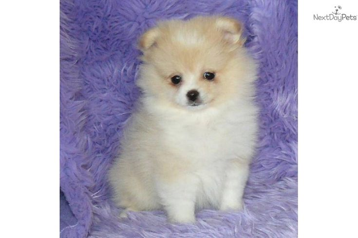 pomeranian puppies for sale in illinois pomeranian puppy for sale near springfield missouri 8173