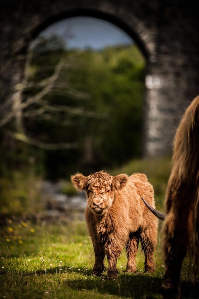 Isle of Skye, Scotland.  Place of fuzzy, teddy bear cows.