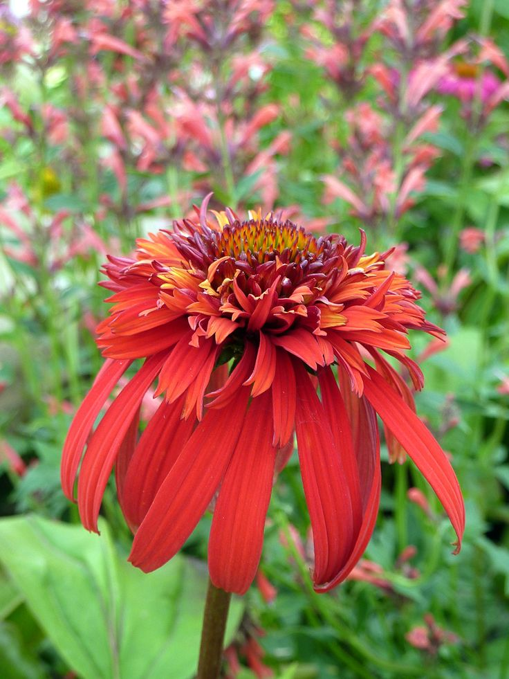 10 best images about garden echinacea hot papaya on. Black Bedroom Furniture Sets. Home Design Ideas