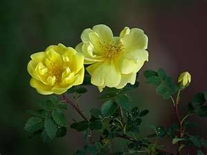 Old Fashioned Yellow Roses These Shrubs Get Almost 3 4