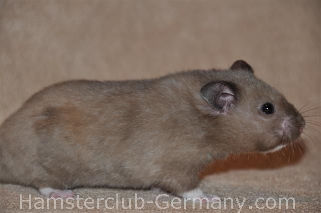 Black Heterozygot Extreme Dilute (aa cdce) | Hamster Club Germany - Farbschläge des Syrischen Goldhamsters