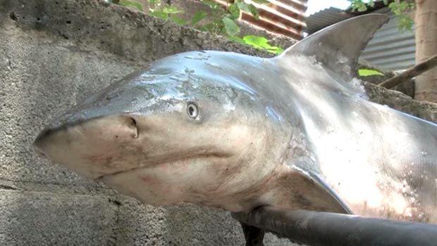 Saint-Pierre : un requin bouledogue de 2,10 mètres massacré ce jour (île de la Réunion)