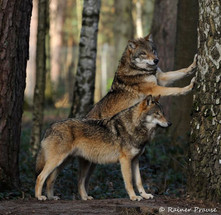 Gray Wolves--Wolf Angels