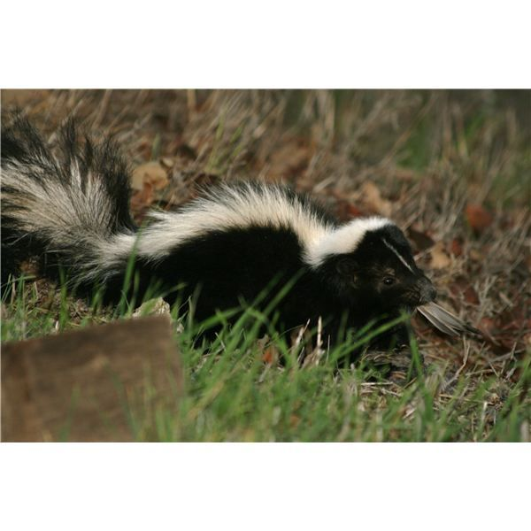 Prevent skunks from invading your property by making some homemade skunk repellent. It's easy and, as a bonus, less toxic.