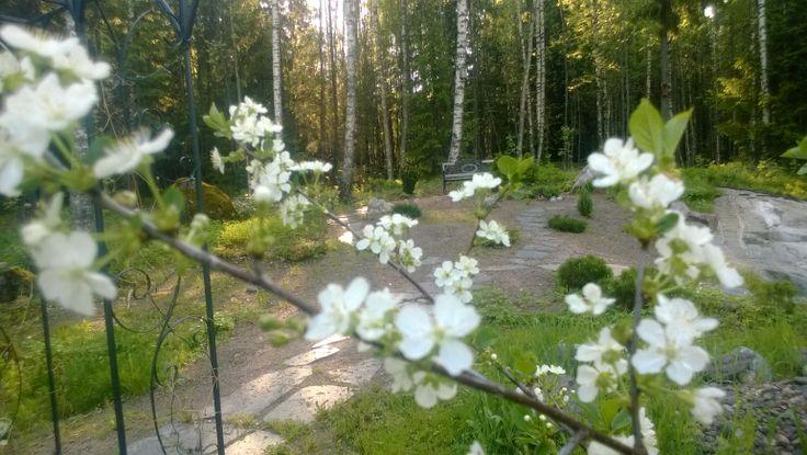 Kirsikan kukat.