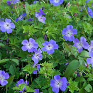 Geranium 'Rozanne'.  Ideal for ground cover under rhododendron and trees.   https://www.rhs.org.uk/Plants/153768/Geranium-Rozanne-Gerwat-(PBR)/Details